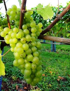 High Clandon Harvest 2014 Chardonnay