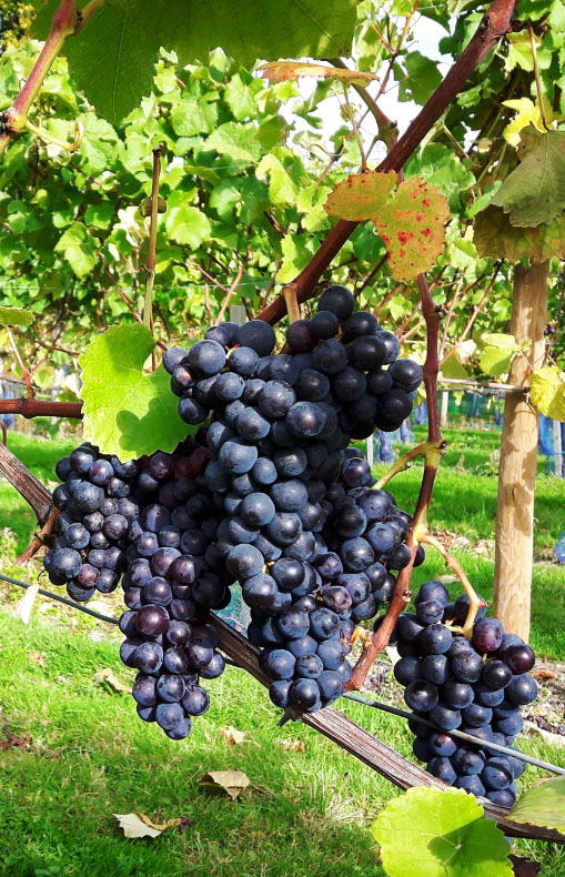 High Clandon Pinot Noir grapes ready for harvest