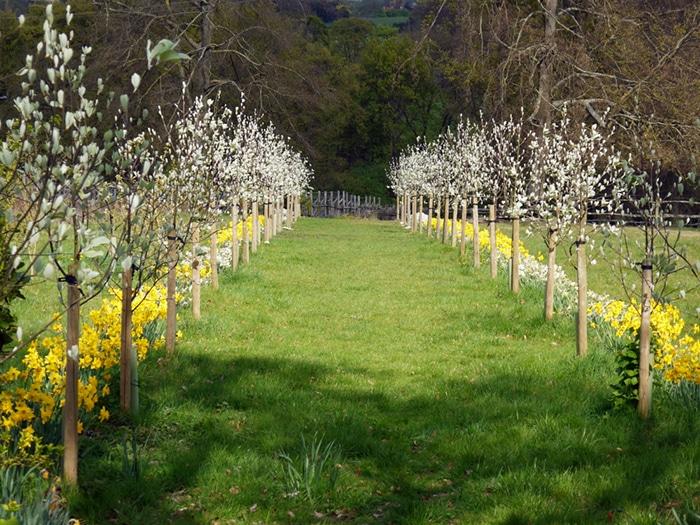 High Clandon Sorbus avenue in spring