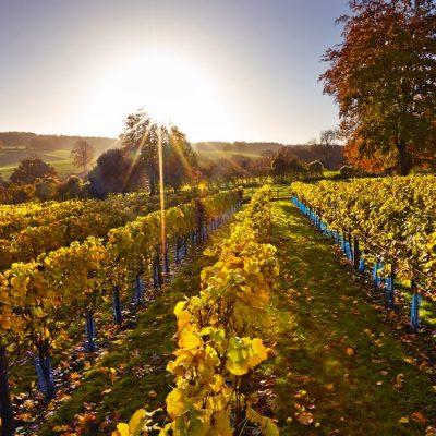 CEPHAS_1234621 High Clandon Autumn vineyard@2x
